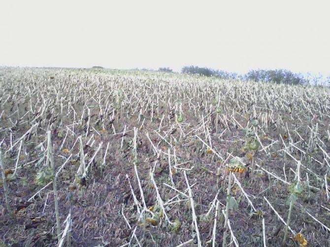 Cultura de floarea soarelui calamitata in comuna Unteni